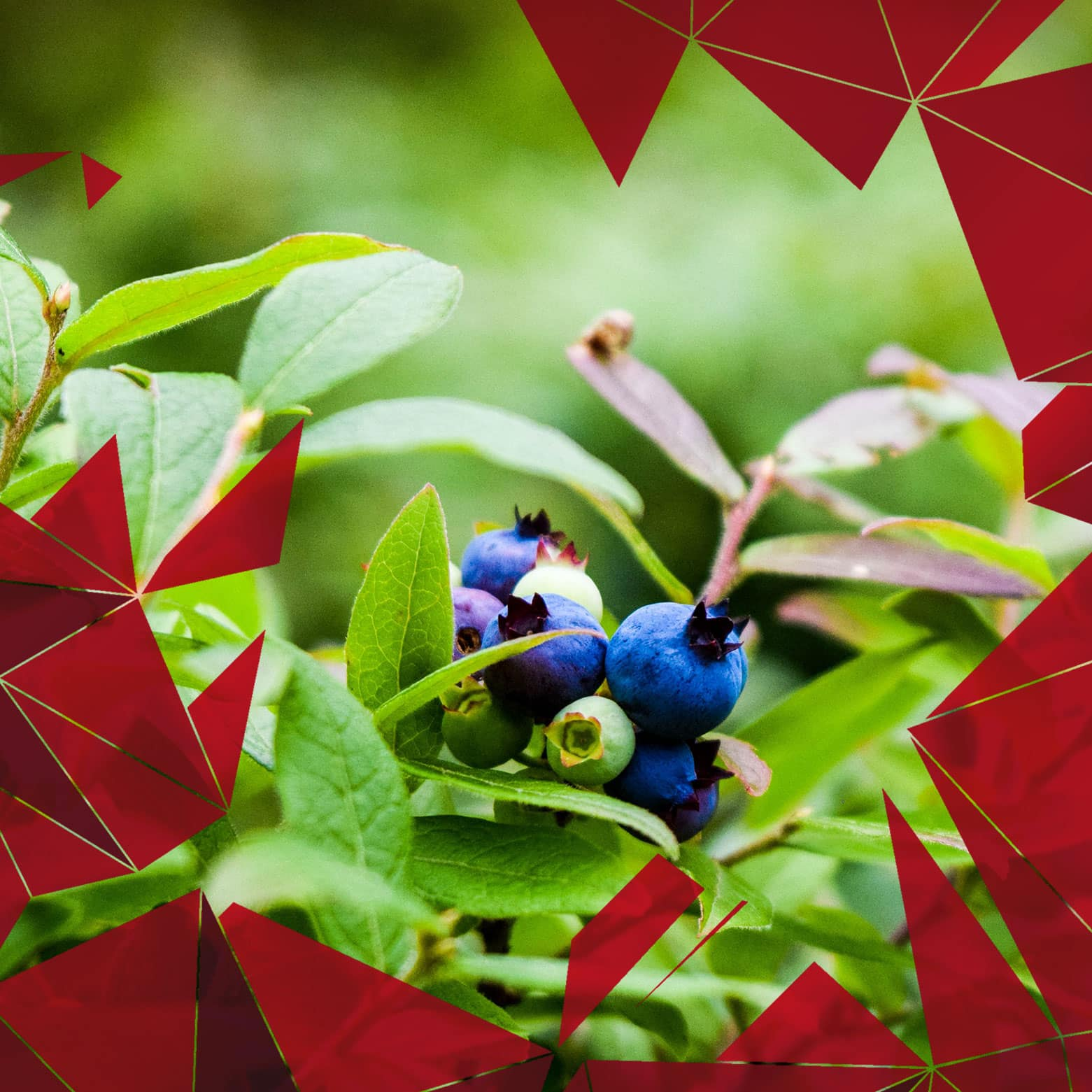 Image of a blueberry bush representing the Student Nutrition Program offered at OFIFC